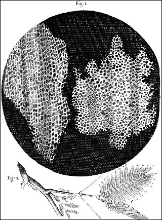 Black and white drawing of cork suber cells and mimosa leaves.